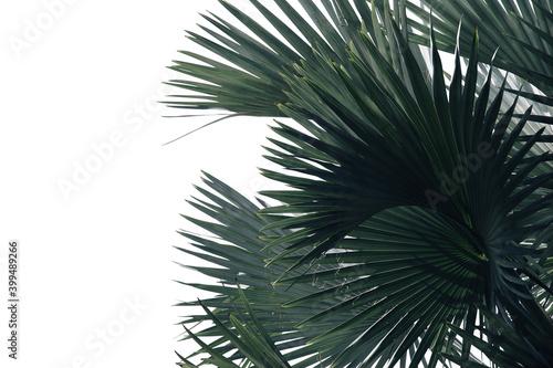 Billede på lærred Bismarck Palm Leaves in Dark Tone Color Isolated on White Background