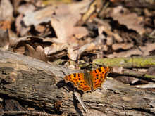 Comma Butterfly (Polygonia C-album) Resting On Tree Trunk
