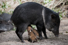 Collared Peccary (also Javelina Or Skunk Pig Or Pecari Tajacu) Is A Medium-sized Pig-like Hoofed Mammal Of The Family Tayassuidae (New World Pigs). Two Cute Baby Peccary With Mother. First Steps