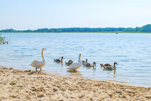 Family Of White Swans Near Lake. Summer Landscape And Swimming Cygnet In River