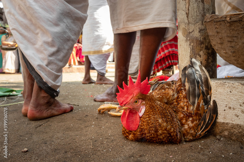 Rooster with tied legs on the ground prepared for religious sacrifice during hin Fototapet