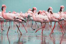 Close Up Of Beautiful African Flamingos That Are Standing In Still Water With Reflection.