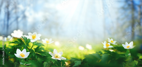 Billede på lærred Beautiful white flowers of anemones in spring on background of blue sky and forest in sunlight in nature