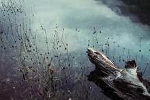 Rotten Fallen Tree Trunk Floats In Calm Water Among Rich Flora. Beautiful Driftwood Log In Water Among Lush Vegetations. Nature Background With Wooden Log, Flowers And Grasses In Mountain Lake Closeup
