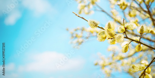 Fototapeta Blooming fluffy willow branches in spring close-up on nature macro on blue background sky with white clouds in sunlight. obraz