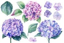 Blue Hydrangea Flowers, Branches And Leaves, Watercolor Painting