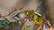 Fiorrancino, Uccello Posato Tra I Rami Dei Rovi Nel Bosco In Dicembre