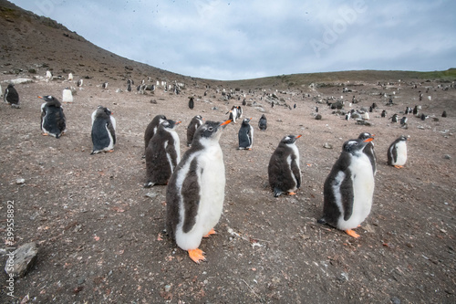 Canvastavla Penguin colony in Subantarctica