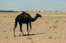 Dromadaire, Camelus Dromedarius