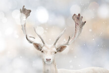 Portrait Of Young Deer Isolated On White Christmas Background