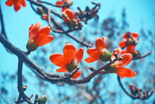 Bouquet Of Reddish Orange Bombax (also Known As Shimul / Simal / Silk Cotton Tree) Flowers In Branches, Against Backdrop Of Blue Sky. Shot During During Spring Time At Kolkata, West Bengal.