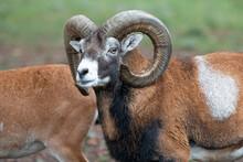 European Mouflon (in German Europäischer Mufflon) Ovis Gmelini Musimon, Ovis Orientalis Musimon, Ovis Aries Musimon