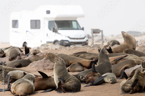 Fotografiet Seals at Cape Cross Seal Colony laying on the coast - white camper in the backgr