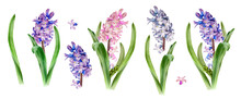 Hyacinth Flower Collection. Watercolor Spring Hand Painted Floral Illustration.