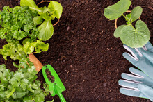 Woman Planting Young Seedlings Of Lettuce Salad In The Vegetable Garden