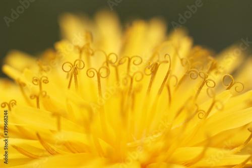 Fotografering Macro révélant de surprenants détails de la fleur de pissenlit