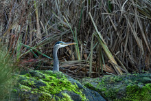 One Great Blue Heron Resting Behind Green Mosses Covered Big Rocks In The Pond Near Dense Tall Grasses