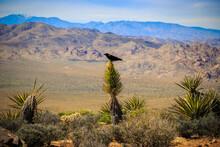 Crow On The Cactus, Joshua Tree National Park, California