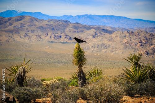 Photo Crow on the Cactus, Joshua Tree National Park, California