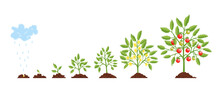 Stage Growth Plant. Growth Stages From Seed To Flowering And Fruiting Plant With Ripe Red Tomatoes. Staged Growth Of Tomato Plants.
