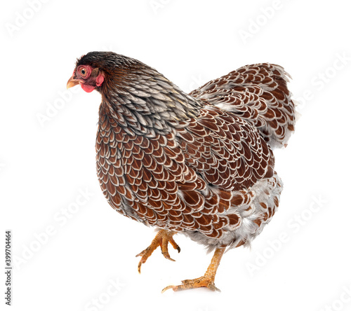 Fototapeta Wyandotte chicken in studio obraz