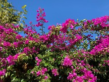 Bright Pink Blooming Tree On The Blue Sky Background