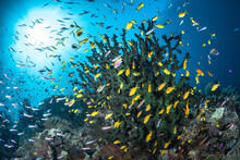 Healthy Coral Reef In The Pacific Ocean Teaming With Life And Lots Of Fish Swimming Around With Sun Rays Bursting Through