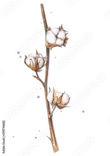 Fotografia, Obraz Beautiful white cotton branch isolated on the white background with violet dots