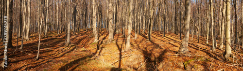 Fotografie, Obraz Wide panorama of a beech forest in autumn