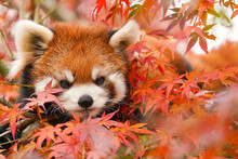 Red Panda In The Autumn Forest