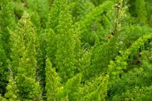 Asparagus Setaceus Or Common Asparagus Fern, Asparagus Grass, Lace Fern, Climbing Asparagus, Or Ferny Asparagus