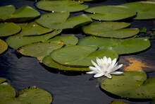 White Water Lily. Single Acquatic Flower Layed On A Bed Of Floating Leaves Of Nymphaeaceae.