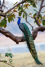 Indian Peafowl (Pavo Cristatus), Also Known As The Common Peafowl, Sitting In A Tree In Kanha National Park In India