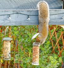 Grey Squirrel Stealing Nuts From Bird-feeder