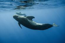 Pilot Whales Underwater