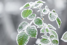 Green Leaves In The Cold