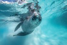 Leopard Seal Iunderwater
