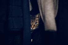 Funny Scared Tabby Pet Cat Hiding In Clothes At Closet. Cute Adorable Surprised Fluffy Hairy Striped Domestic Animal With Green Eyes Sheltered In A Wardrobe. Adorable Frightened Kitten Looking Out.