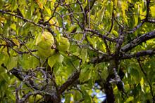 Close Up Osage Orange Tree Fruit