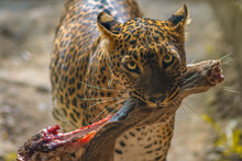 Leopard With His Kill