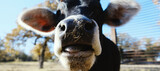Fototapeta Konie - Funny young cow close up with hay pieces on nose of heifer.