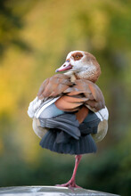 Egyptian Goose (Alopochen Aegyptiaca) With Rare Colourful Plumage