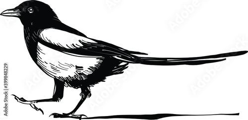 Fotografie, Obraz magpie on the white background