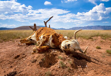 Dead Cow Lies Decomposing With Skull And Fur In Desert Landscape