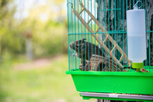 Closeup Of Little Brown Squirrel Climbing In Green Cage, Sits Behind Fence, In The Backyard Of The House. A Wild Animal In Captivity, A Rodent.