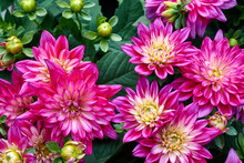 Beautiful Flowers Of Chinese Aster.