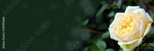 Obraz weiße rose banner - fototapety do salonu