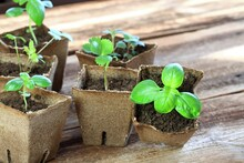 Potted Seedling Growing In Biodegradable Peat Moss Pots.   Small Thyme, Basil, Bee Balm And Dong Quai /chinese Angelica/ In Pots On Brown Wooden Table, Copy Space.