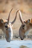 Fototapeta Sawanna - Two male Saiga antelope or Saiga tatarica