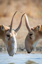 Two Male Saiga Antelope Or Saiga Tatarica